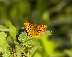 blog180624-1 (DaseinPhoto) Tags: wildlife butterfly comma daseinphoto invertebrates leevalley