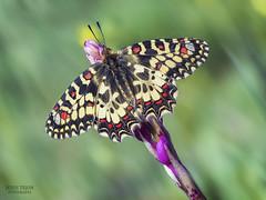 Al solito. (Jesus Tejon) Tags: mariposa arlequin zerynthia rumina macro naturaleza primavera olympus nature macrofografia m