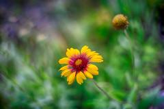 (kderricotte) Tags: helios helios44m458mmf2 sony sonya7ii ilce7m2 bokeh depthoffield flower summer plant outdoor vintagelens