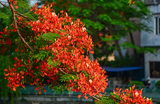 Flamboyant flowers blooming on the tree
