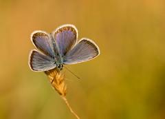 Silver-studded Blue (Peter Quinn1) Tags: silverstuddedblue shropshire heathland heather