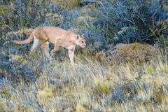 Better Shot of Sarmiento Stalking (Glatz Nature Photography) Tags: puma pumaconcolor chile southamerica patagonia magallanes bigcats predator cougar mountainlion panther sarmiento stalk wildanimal wildlife glatznaturephotography nikond850