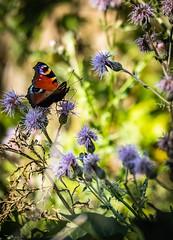 Flowerlicious!!! (matthew0310851) Tags: papillon butterfly belgique wallonie fleurs nature canon eos 1dxmkii sigma 150600mm