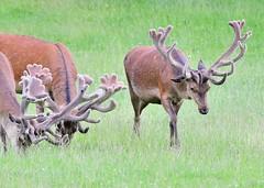 Red Dear (gillybooze (Away)) Tags: ©allrightsreserved animal deer mammal reddeer wildlife grass outdoor bokeh antlers dof woburn stag field