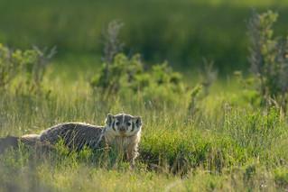 Colorado Badger