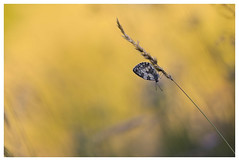 Matin doux...Sweet morning... (isabelle.bienfait) Tags: sigma105 nikond7200 proxiphoto butterfly papillon melanargiagalathea schachbrettschmetterling demideuil schmetterling jaune yellow gelb borboleta mariposa bétahon
