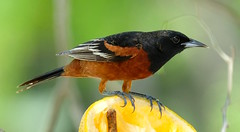 The Orchard Oriole (Icterus spurius) (dzittin) Tags: bird icterus spurius orchard oriole orange