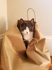 Cat in the bag (quinn.anya) Tags: cat vitya vitty paperbag staring