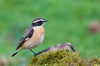 Whinchat (Explored 09-07-18)