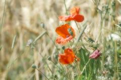 Fever Dream (Herr Nergal) Tags: fz1000 lumix panasonic nature flora saarland blüten feld field dreaming bokeh blurry unscharf 7dwf pastel