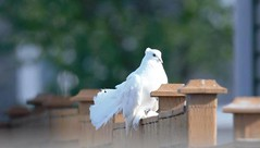 SIGHTING white dove in #taradale. Pls rt, watch, share. YYC Pet Recovery shared Gertrude Ursula Crawford's post. Saw this guy in Taralake, could be someone's pet 2018-07-15T01:30:29.000Z by YYC Pet Recovery original fb post-click here http://bit.ly/2NiZwl (yycpetrecovery) Tags: ifttt july 15 2018 foundsightedbird foundsighted bird white taradale taralake dove