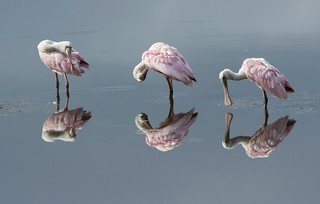 So many....oh not 6...3 !  Spoonbills on mirror like swamp!