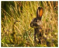 Watchfulness (awardphotography73) Tags: nikon nature wales golden cardiff forestfarm animal wildlife wild rabbit