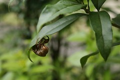 180720002 (murbozero) Tags: murbo japan cicada