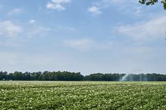 Laudemarke (Jos Mecklenfeld) Tags: landscape landschaft landschap flowers blumen bloemen gras grass westerwolde sonya6000 sonyilce6000 sony30mmf35macro sel30m35 aardappelen kartoffeln potatoes macro laudemarke groningen netherlands nl
