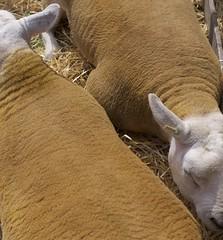 Sheep geometry (Stephen Toye) Tags: sheep lambs animals farmanimals wool fleece leica leicax2 sleep rest westyorkshire yorkshire farming todmordenshow todmorden ears ochre yellowochre