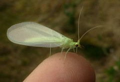 Fingertip Lacewing..x (Lisa@Lethen) Tags: chrysoperla carnea lacewing flying insect macro finger tip