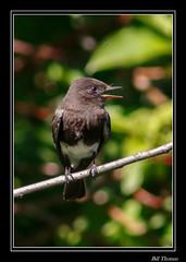 Black Phoebe-2 (billthomas_steel) Tags: blackphoebe sayornisnigricans bird rarebird fraservalley flycatcher insect hunting britishcolumbia canada canon eos7dmarkii wildlife