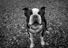 Beach day (HutchSLR) Tags: blackandwhite boston terrier dog scotland