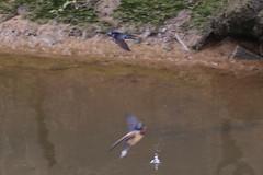 Swallow (Dougie Edmond) Tags: monkton scotland unitedkingdom gb bird birds nature wildlife summer