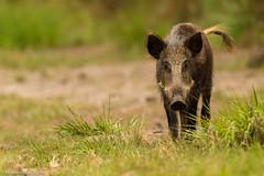 Petit cochon des Landes (Maxime BEAUJEON) Tags: sanglier cochon sus scrofa landes pontenx les forges chasse animal sauvage forêt bois animalière animalier