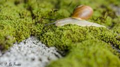 Le Gastéropode dans la vallée (letexierpatrick) Tags: escargot gastéropode nature nikond7000 nikon sigma105mm sigma colors couleurs couleur illeetvilaine bretagne france europe extérieur explore garden jardin