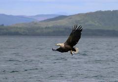 White Tailed Sea Eagle (farrertracy) Tags: eagle whitetailedseaeagle isleofmull scotland ocean summer sunshine landscape mountains bluesky inflight