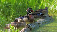 2018-06-23 Purple Gallinule ambushes Wood Ducks - video (Tara Tanaka Digiscoped Photography) Tags: woodduck purplegallinule chase attack gh5 manualfocus 4k nikon300mmf28ais swamp florida bird wildlife nature