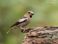 Hawfinch (Coccothraustes coccothraustes) (www.mikebarthphotography.com 2M Views thanks !) Tags: coccothraustescoccothraustes hawfinch