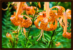 Tiger Lily (Rick-Willis) Tags: adobelightroom flora flower flowers ohio ononesoftware usa vertical