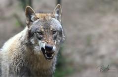 VASJA (babsbaron ( Bella )) Tags: nature tiere animals caniden raubtier wildtier predator hunter jäger säugetiere mammals wolf wolves wölfe grauwolf greywolf european europäisch wildpark lüneburgerheide canon eos