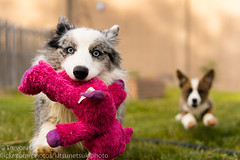 Right at the Camera (Kenjis9965) Tags: sonnar5518za zeiss 55mm f18 za sonnar sonya7iii sony a7iii cardigan welsh corgis corgi playing toys running camera fun having red brindle blue merle puppy pupper puppies adorable cute