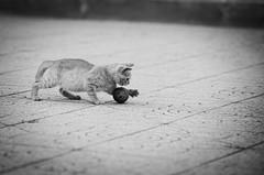 33258 - Giulio (Diego Rosato) Tags: giulio gatto cat gattino kitten nikon d700 70200mm sigma rawtherapee bianconero blackwhite ball pallina