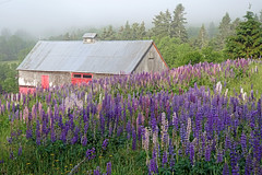 DSC00609 - Barn Stop... (archer10 (Dennis) 141M Views) Tags: sony a6300 ilce6300 18200mm 1650mm mirrorless free freepicture archer10 dennis jarvis dennisgjarvis dennisjarvis iamcanadian novascotia canada glooscaptrail lupins barn fiveislands fundy