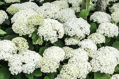 Blossom -49- (Jan 1147) Tags: blossom bloei bloem bloemen flower flowers hortensia natuur nature outdoor buitenopname wit white lovendegem belgium