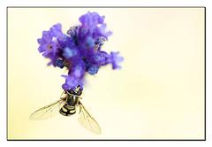 Le nez dans la poudre!!! (Des.Nam) Tags: flou fleur fleurs lavande insecte syrphidae desnam macro proxy 105mmf28 nikon nikond800
