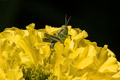 Ames, Iowa July 7,2018 (Doug Lambert) Tags: grasshopper insect wildlife nature flower summer midwest ames iowa canon7dmarkii tamron150600