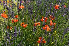 Poppies in lavander field (JLS@Photos) Tags: france végétal motif arbuste coquelicot fleur lavande provencealpescôtedazur drome lavandin flower lavender papaverrhoeas patternform poppy