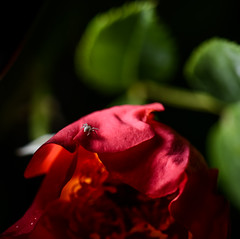 Crab spider on rose (PChamaeleoMH) Tags: crabspiders flash flowers garden macro roses