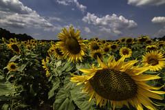 Sunflowers (muntsa-joan-color) Tags: flora flower flores flowers clouds cielo nubes nature landscape summer rural girasoles sunflower canon eos70d