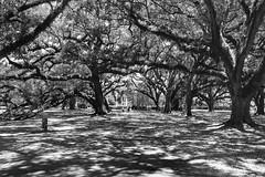 Oak Alley 2 (ipadzwochris) Tags: nature trees holiday voyage reise travel south plantation oakalleyplantation southernstates südstaaten louisiana usa