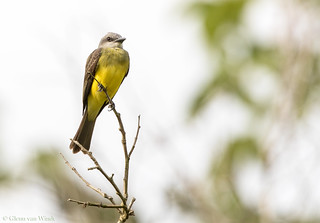 Tropical Kingbird...