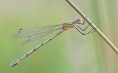 Emerald Damselfly (female) (KHR Images) Tags: emeralddamselfly lestessponsa female insect llangloffanfen pembrokeshire wales wildlife nature macro 105mm nikon d500 kevinrobson khrimages