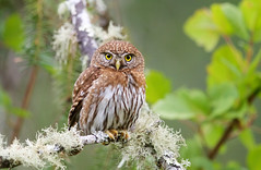 Northern Pygmy owl (Thy Photography) Tags: birdofprey prey northernpygmyowl owl raptor wildlife animal nature outdoor backyard california bird