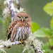 Northern Pygmy owl (Thy Photography) Tags: birdofprey prey northernpygmyowl owl raptor wildlife animal nature outdoor backyard california bird
