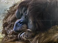 19.07.18 Orang-Utan Bruno ist tot (Helmut Reichelt) Tags: bruno orangutan gestorben juli 2018 münchen zoo tierpark hellabrunn oberbayern bavaria deutschland germany panasonic lumix fz200 captureone10 colorefexpro4