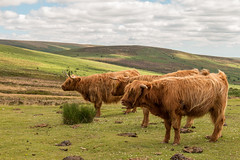 Backs to the wind (Keith in Exeter) Tags: highland cattle cow animal livestock hairy red dartmoor nationalpark moorland headlandwarren challacombedown hameldown grass rush dung landscape windy horn sky devon england