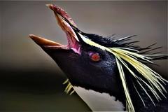 Southern Rockhopper Penguin (Babudas a.k.a Thaikaden) Tags: tsbdas thaikaden photography nature birds edinburgh penguin