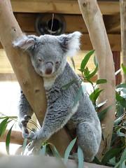 P1020131 (Alysse.C) Tags: animal koala pairidaiza