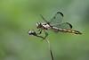 Golden Dragon - 061518-110835 (Glenn Anderson.) Tags: dragongfly outdoors antenna nature grasses limuxoutside animal plant colorfull bokeh depthoffield closeupmetamorphosis hunter preditor translucentwings
